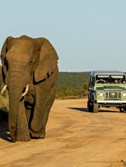Interaction avec les grands éléphants d'Afrique